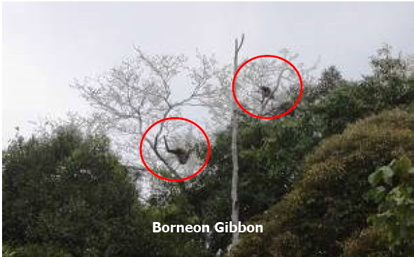 Borneon gibbon-text